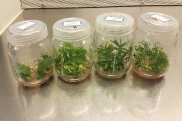 سالم سازی ارقام مختلف محصولات باغی، استفاده از تکنیک ردیابی ویروس