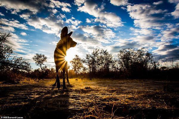 پیروز ترین شکارچیان قاره آفریقا ، جانورانی اجتماعی و خاص (تصاویر)
