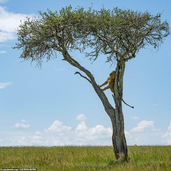 عکس برگزیده حیات وحش ؛ فرار شیر از دسته بوفالوها